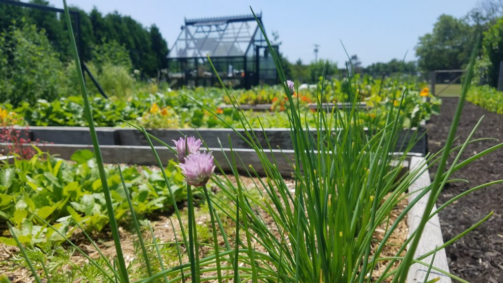 Picture of Chives growing near the Green House