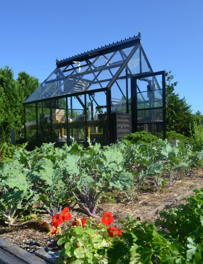 Picture of Kale growing near the Green House
