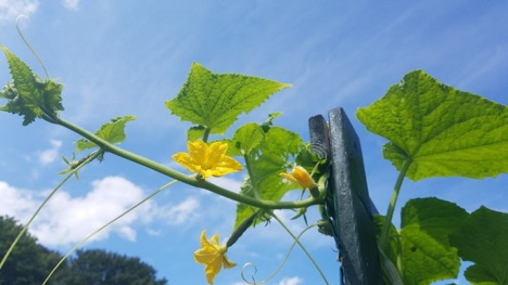 Picture of Itty bitty cucumbers with flowers still attached