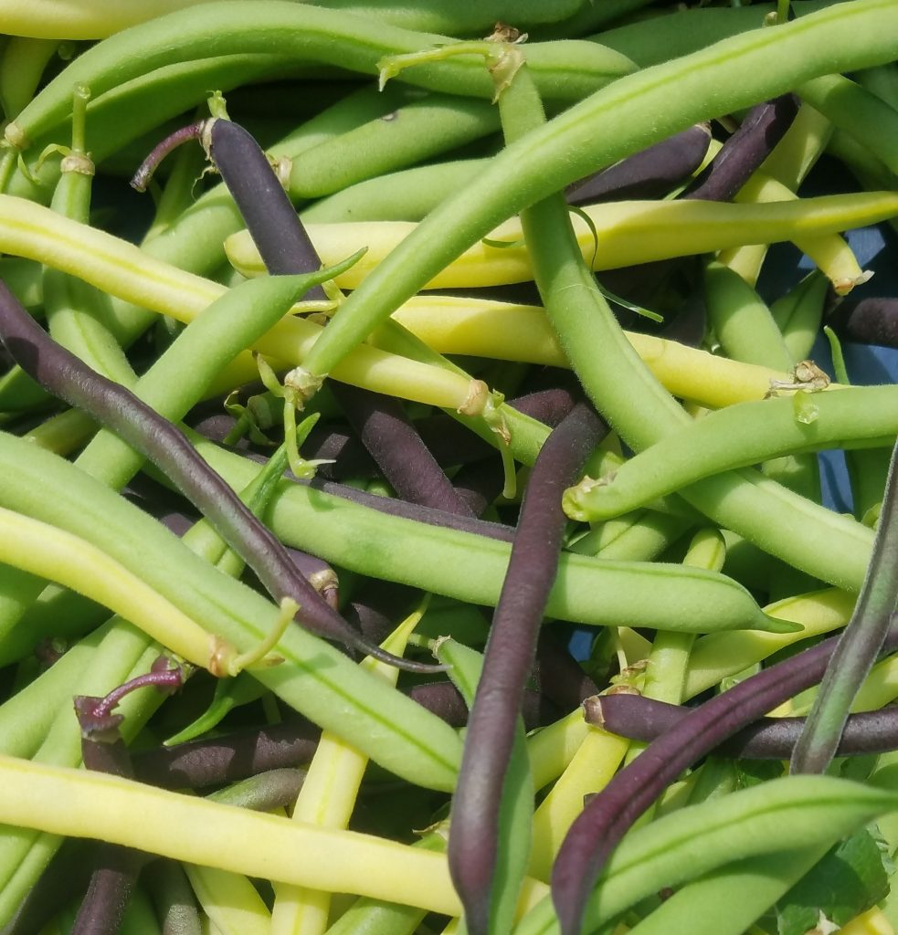 Photo of beans from Castle Hill Garden