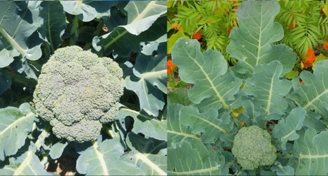 Two pictures of brassicas examples