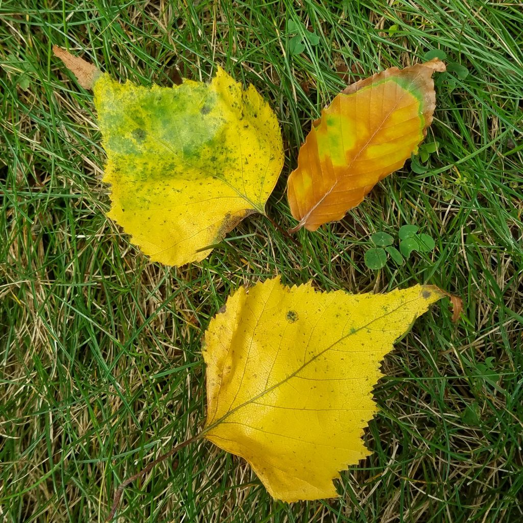 Picture of three autumn leaves in grass