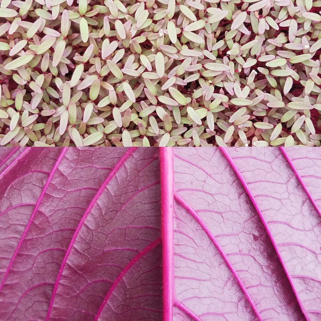 Two pictures of red amaranth - flowers and close up