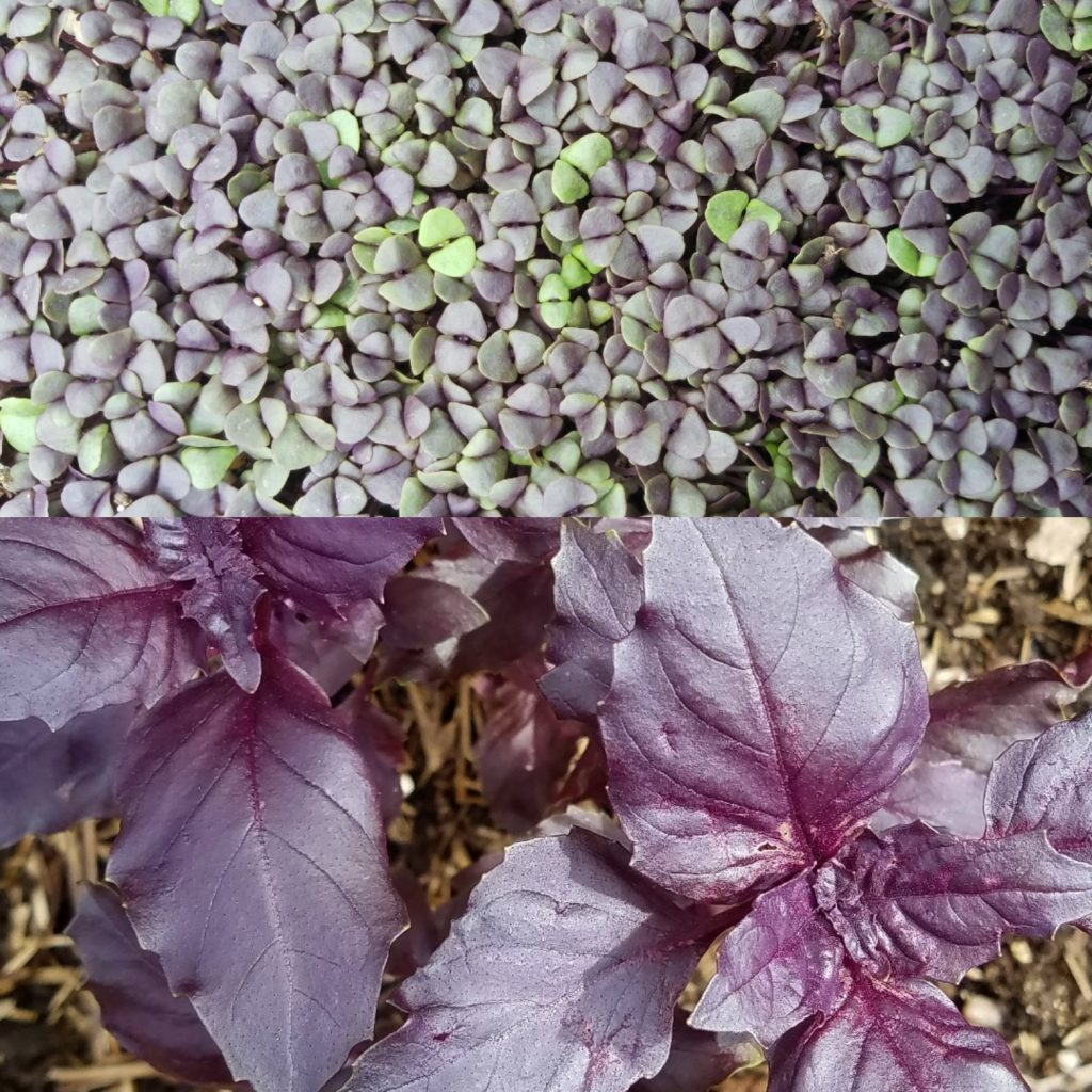 Two pictures of dark opal basil microgreens - flowers and leaves