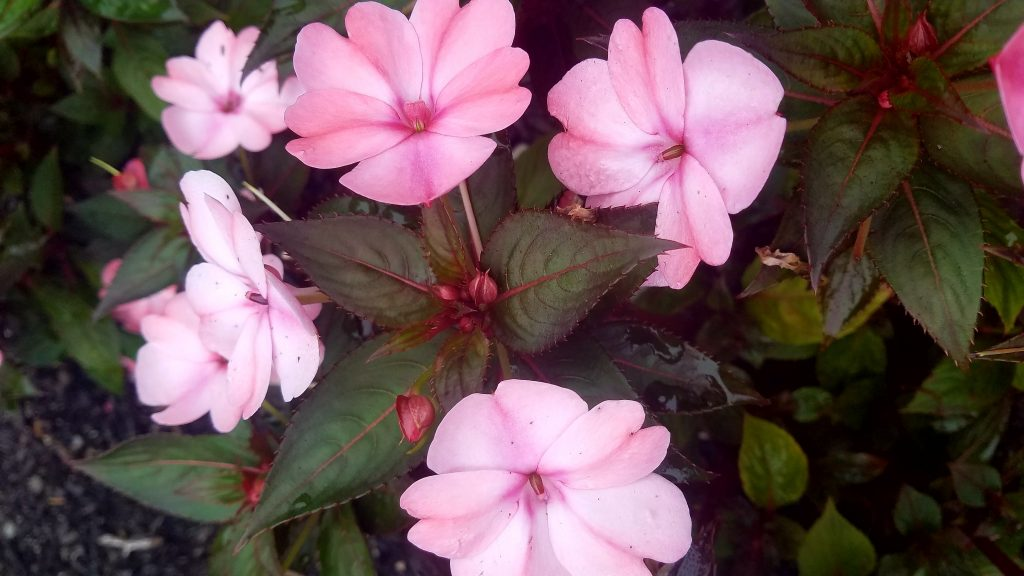 Picture of New Guinea impatiens