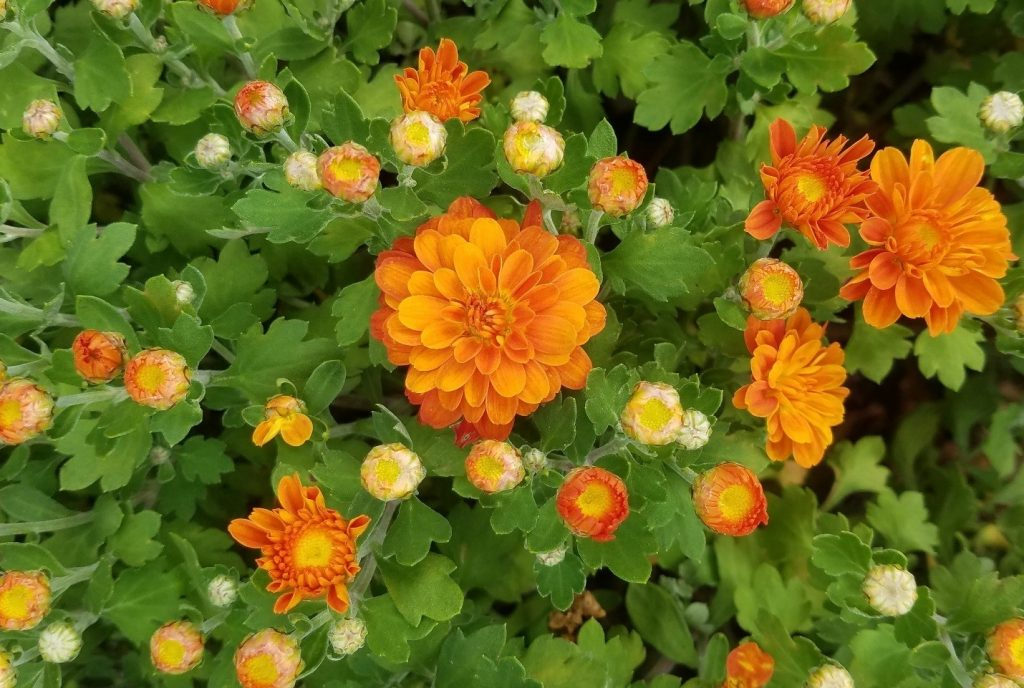 Photo of Makenna Orange chrysanthemums