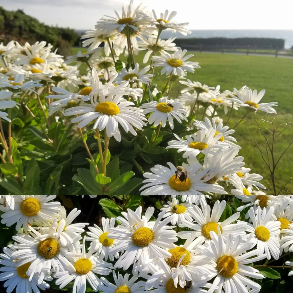 Photo of Montauk Daisies