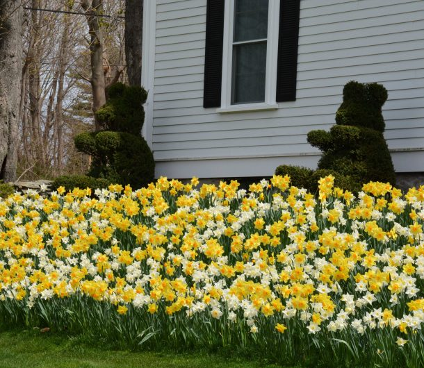 Daffodils and Bear-shaped hedges