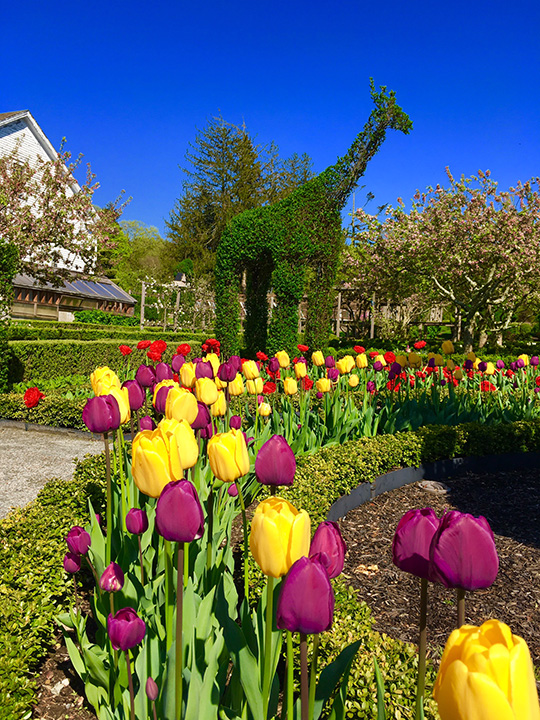 Giraffe hedges and tulips